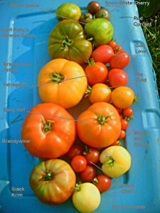Diagram of Heirloom Tomatoes taken from Wikipedia